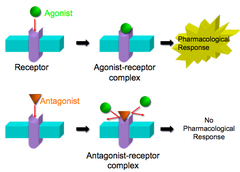 which is an example of agonist and antagonist muscles