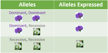 dominant and recessive traits in humans example