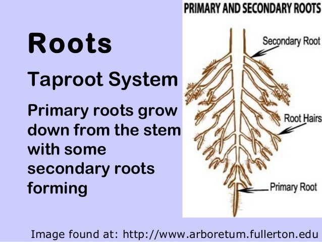 example of taproot and fibrous root system